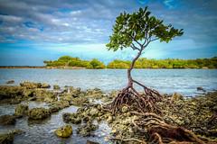 The Walking Tree (MichaelSOwens) Tags: hdr rhizophoramangle red mangrove bahia honda state park florida keys proproots