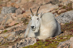 Mountain Goat on the alpine tundra