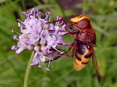 Small-Named. Southern Succisella, Succisella inflexa, and Volucella zonaria, Hornet Mimic Hoverfly, Hortus Botanicus, Amsterdam, The Netherlands (Rana Pipiens) Tags: southernsuccisella succisa devilsbitscabious devil roots volucellazonaria succisellainflexa wasps hornet hornetmimichoverfly hoverfly commensality insect flower mauve hortusbotanicusamsterdamthenetherlands evil