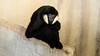 Some Me Time (spierson82) Tags: nomascusleucogenys brookfieldzoo czs chicagozoologicalsociety gibbon zoo hylobatidae ape whitecheekedgibbon primate brookfield illinois unitedstates us benny