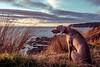 iDA LADY (m+m+t) Tags: dscf209316 mmt meredithbibersteindesign ida dog weimaraner sea coast sunset outdoors fujixt1 fujixseries fujimirrorless sky 1855mm