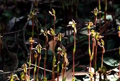 Chiloglottis trapeziformis, Broad-Lip Bird Orchid (AlfredSin) Tags: alfredsin canoneos760d canonef100mmf28lmacro orchids australianflowers australianplants australiannativeplants australiannativeflowers australiannativeorchids australianorchids valley reserve velleyreserve mtwaverley victoria broadlipbirdorchid