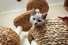 Merry 3 (joshmonk) Tags: 2017 50mm animal basket bed brandybuck cat cattree d7000 devon england exeter f18g f18g50mm grey indoors kitten lilac merry nap nikkor nikon rest rope scratchingpost summer tree uk wicker
