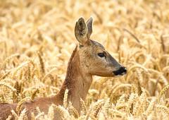 Roe deer (George Findlay) Tags: roe deer doe nikon sigma ayrshire field