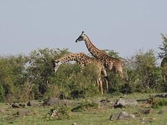 Masai giraffes (Oleg Chernyshov) Tags: masaigiraffe giraffacamelopardalistippelskirchi масайскийжираф