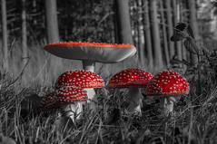 Mushroom-Fly Amanita (Roberto Braam) Tags: flyamanita flyagaric mushroom outdoor europe landscape natur vliegenzwam amanita muscaria poisonous poison hallucinogenic autumn rode paddenstoel paddestoel muscarine fliegenpilz fungus forrest nature landschap holland europa lsd alkaloid toadstool natuur