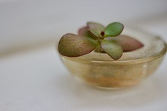 Life in unlikely places (Mru K) Tags: succulent plant tealight tealightholder glass green life dirt 50mmf18 bokeh