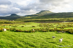 20170605-DSC01451 Macleods Tables North Skye Scotland (rodtuk) Tags: a6000 agricultural b24 isleofskye kit mammal nature phototypes photographicequipmentused places scotland skye uk scotland2017