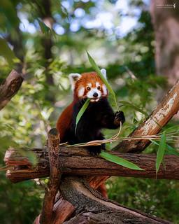 Time to snack | Roter Panda -  red panda (Ailurus fulgens)