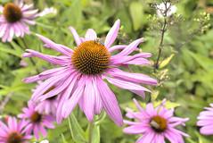 Kurpark Bad Oeynhausen (HDRforEver) Tags: hdr canon 600d flower flowers blumen kurpark bad oeynhausen august owl nrw nordrheinwestfalen ostwestfalen new interesting park photomatix flora