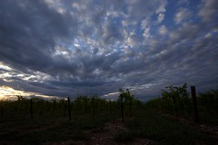 Sunset into grapes plants (Nelson-V.) Tags: