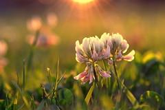 together (joy.jordan) Tags: clover flowers color texture light sunset bokeh nature ontheground
