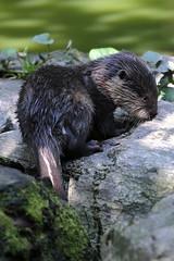 Otter puppy (carlo612001) Tags: lontra otter puppy cucciolo natura nature