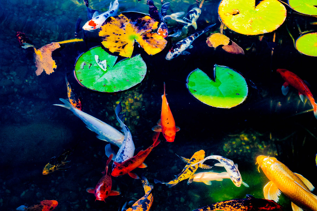 The World 39 S Best Photos Of Fish And Koi Flickr Hive Mind