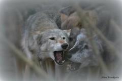 Grey Wolves (captive) (Alan Woodgate) Tags:
