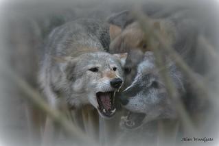 Grey Wolves (captive)