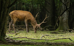 forest king (Axel Bobard) Tags: cerf élaphe mammifère mammal mammals deer forêt forest france yvelines espace rambouillet animal animals animaux mamiferos mammifero nature canon canoneos7dmarkii tamron tamron150600