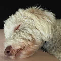 Let sleeping dogs lie (ZoKë) Tags: rest peaceful peace letsleepingdogslie idiom sleeping lagatto dog
