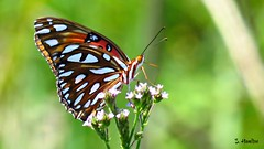 Gulf Fritillary or Passion Butterfly (Suzanham) Tags: flutter wings nature wildflowers bug caterpillar orange canon mississippi nymphalidae heliconiinae agraulisvanillae linnaeus bright united states southern wildlife passionbutterfly
