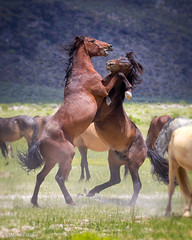 Mustang Fight (Mimi Ditchie) Tags: easternsierra mustangs wildhorses wildmustangs horse horses fighting rearingup getty gettyimages mimiditchie mimiditchiephotography