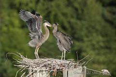 Don't Leave Me! (PamsWildImages) Tags: heron chicks bird nature wildlife naturephotographer wildlifephotographer pamswildimages canada bc
