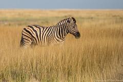 Zebra in tall grass-0036 (Equus quagga) (dennis.zaebst) Tags: africa namibia etosha zebra wild mammal animal naturethroughthelens explored coth5 sunrays5