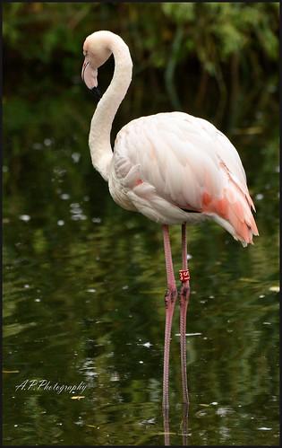 14.09.17 ZSL London Zoo..Flamingoes