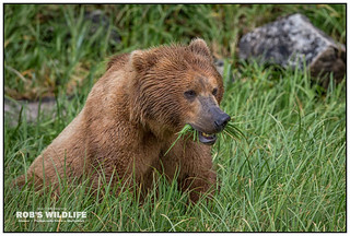Alaska Brown Bear 070217-4818-W.jpg