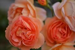Rose 'Pat Austin' raised in UK (naruo0720) Tags: rose englishrose pataustin bredbydavidaustin englishrosecollection バラ イギリスのバラ パットオースティン オースティンのバラ イギリスのバラコレクション