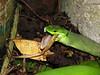 Chinese green tree viper eating (wattanumpty) Tags: chinesegreentreeviper trimeresurusstejnegeri snakeeating taiwansnake