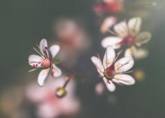 familial ties (rockinmonique) Tags: flower bloom blossom petal tiny small pink green shadow light bokeh moniquew canon canont6s tamron copyright2017moniquew eleven