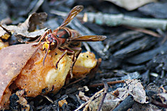 thing with a sting (avflinsch) Tags: ifttt 500px macro flower insect bee scary wasp sting hornet