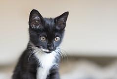 Leon #8 (marco monetti) Tags: portrait ritratto kitten gattino cat gatto beautiful bello cute tenero