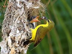 Olive-backed Sunbird (Nectarinia jugularis) (Graham Winterflood) Tags: bird nectariniajugularis olivebackedsunbird canoneos7d taxonomy:binomial=nectariniajugularis geo:country=australia sunbird
