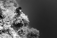(saavedl) Tags: lx5 redsea egypt underwater dive wildlife wideangle marinelife fish bw bn blackandwhite monochrome gopro contrast
