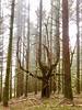Eclipse smoke fog forest (derek.genre) Tags: oregon ancientforest smoke eclipse wildfire fog