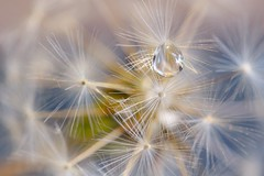 Water Pearl (C.G. Hutch) Tags: floral flora flower dandelion seeds seed photography art photo design