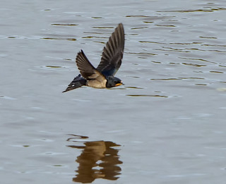 Swallow ( Hirundo rustica )- Getting ready for the off !!