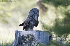 Great Gray Owl and Meadow Vole (Gregory Lis) Tags: greatgrayowl strixnebulosa britishcolumbia gregorylis grzegorzlis nikond810 nikon owl meadowvole