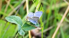 Karner blue butterfly (airpower) Tags: karner blur butterfly góra żar gora zar miedzybrodzie zywiec zywieckie beskid slaski slask górny gorny silesia beskidy maly motyl laka trawa mountains polska poland polish pkl canon 5d mk4 ef100400mm mk2 mkii blue
