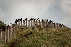 Sitting on the Fence... (Different Aspects) Tags: 7dwf sunday fauna crows fence