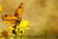 Pictorial butterfly (ILO DESIGNS) Tags: 150mm 2017 agosto amarilla artística color creativa fauna flores guadarrama insecto macro mariposa naranja naturaleza nocom pradera pyroniatithonus animal butterfly insects wings artistic texture closeup d3300 sigma15028 spain pictorial brown orange yellow flowers meadow nature wildlife sunlight naturallight