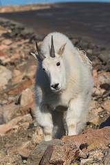 Curious young Mountain Goat