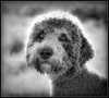 Yes, We Love You (Ernie Misner) Tags: f8anddogkisses dog poodle blackandwhite erniemisner fortsteilacoompark lightroom nik capturenx2 cnx2 topaz topazstudio