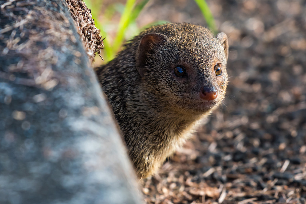 decaf9dabe Small Asian mongoose - Herpestes javanicus (seb-artz) Tags  small asian  mongoose