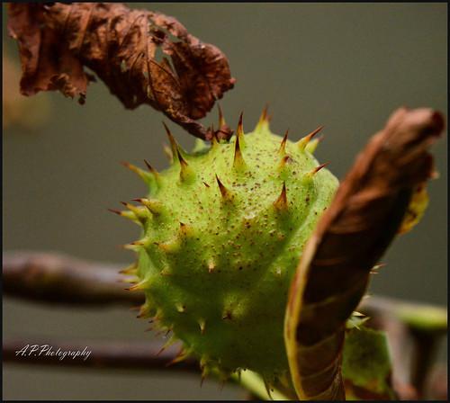 09.09.17  Autumn..Conkers..
