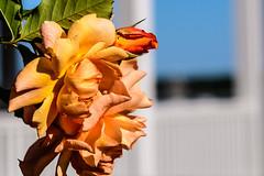MarthasVineyard_913 (Lance Rogers) Tags: camera edgartown flowers marthasvineyard2017 massachusetts nikond500 people places lancerogersphotoscom ©lancerogers