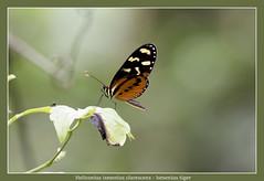 Ismenius tiger (Jan H. Boer, Nature photographer) Tags: heliconiusismeniusclarescens ismeniustiger butterflies insects macro nature wildlife costaroca turrúcares nikon d5200 jansphotostream2017