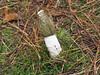 Fresh Stinkhorn. (dave p brecks) Tags: fungi stinkhorn olympus60mmmacro olympusem5markii