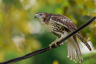 Juvenile Red-tailed Hawk Balancing on a Wire